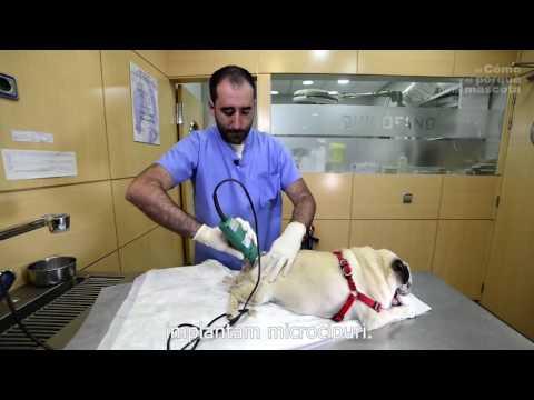 Cum să tratezi artrita câinelui - Principalele cauze ale apariției bolilor de piele ale câinilor: