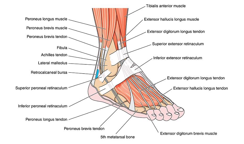 afectarea nervilor în articulația gleznei