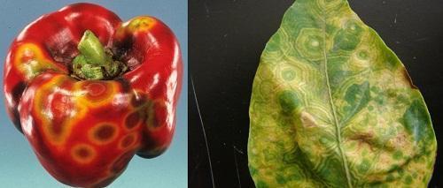 ardeiul roșu tratează articulațiile
