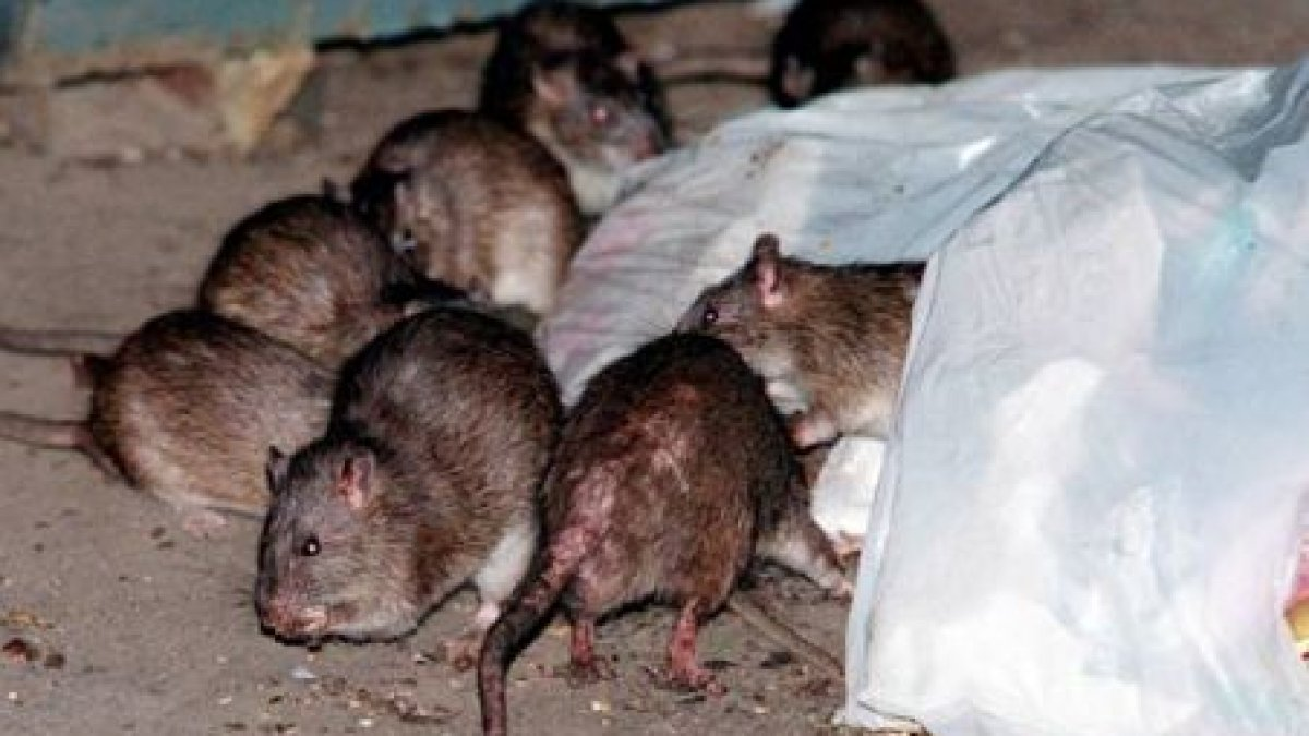 boli articulare și de șobolan
