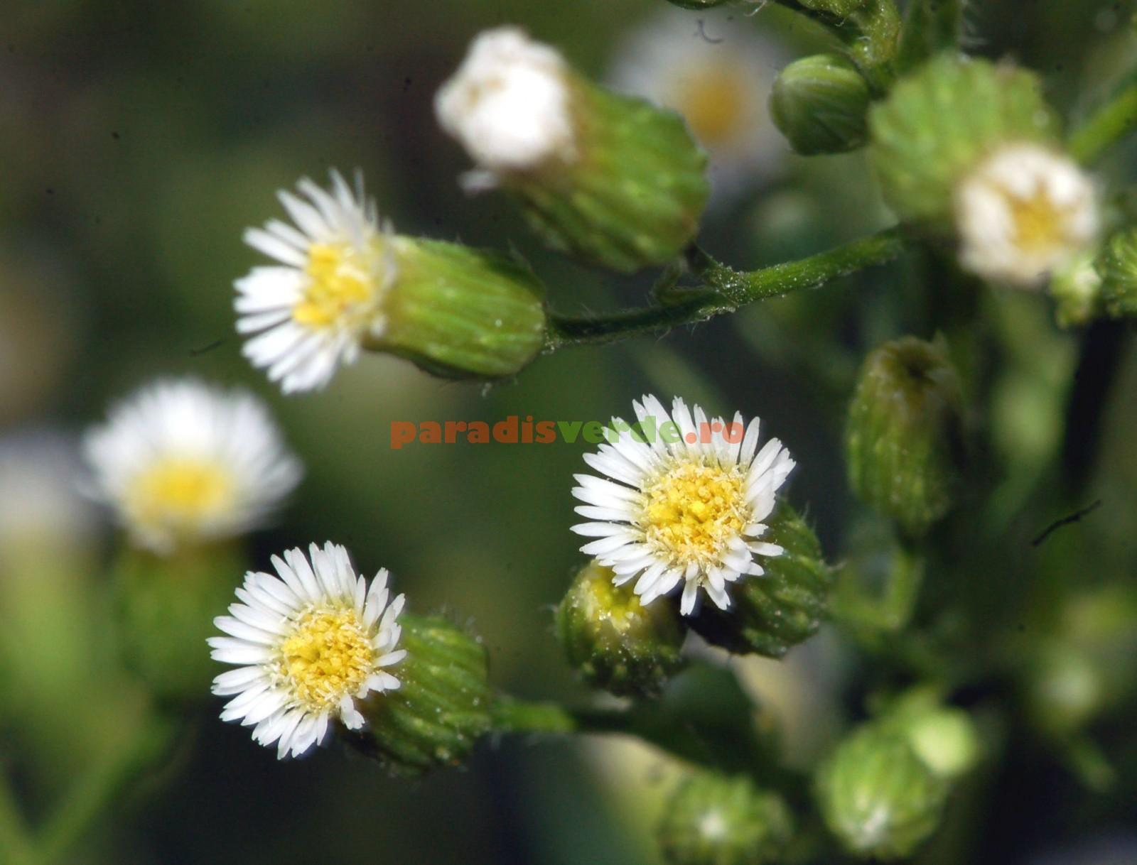 plante medicinale pentru tratarea durerilor articulare