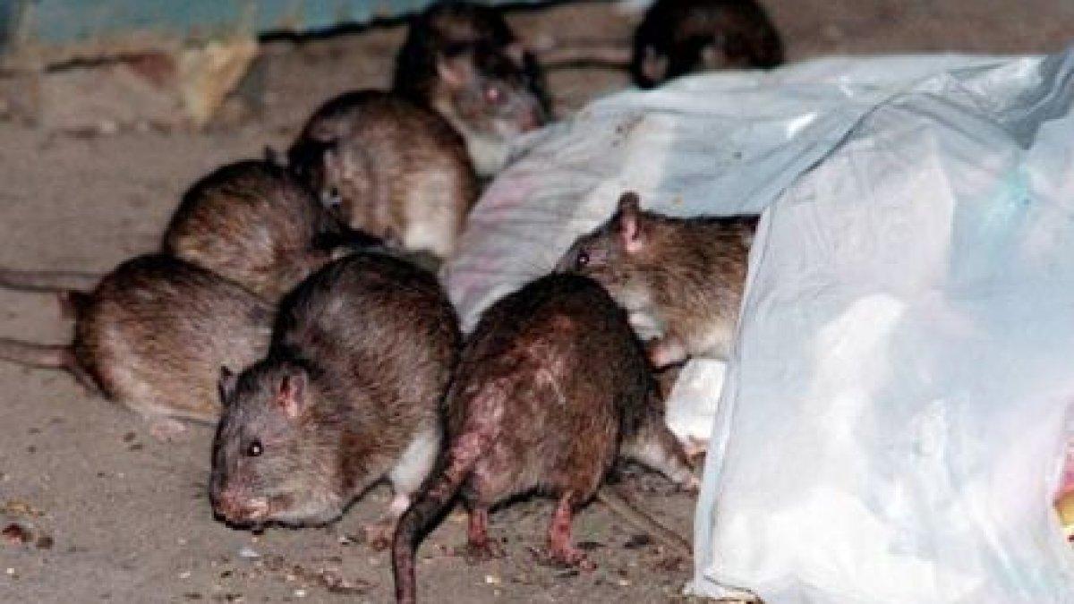 boli articulare și de șobolan)