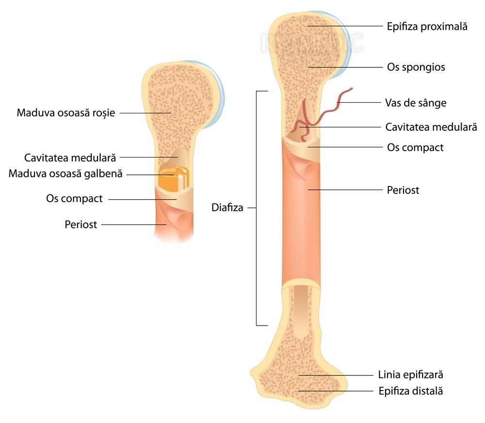 regenerarea țesutului osos și cartilaj articulație pe degetul mijlociu