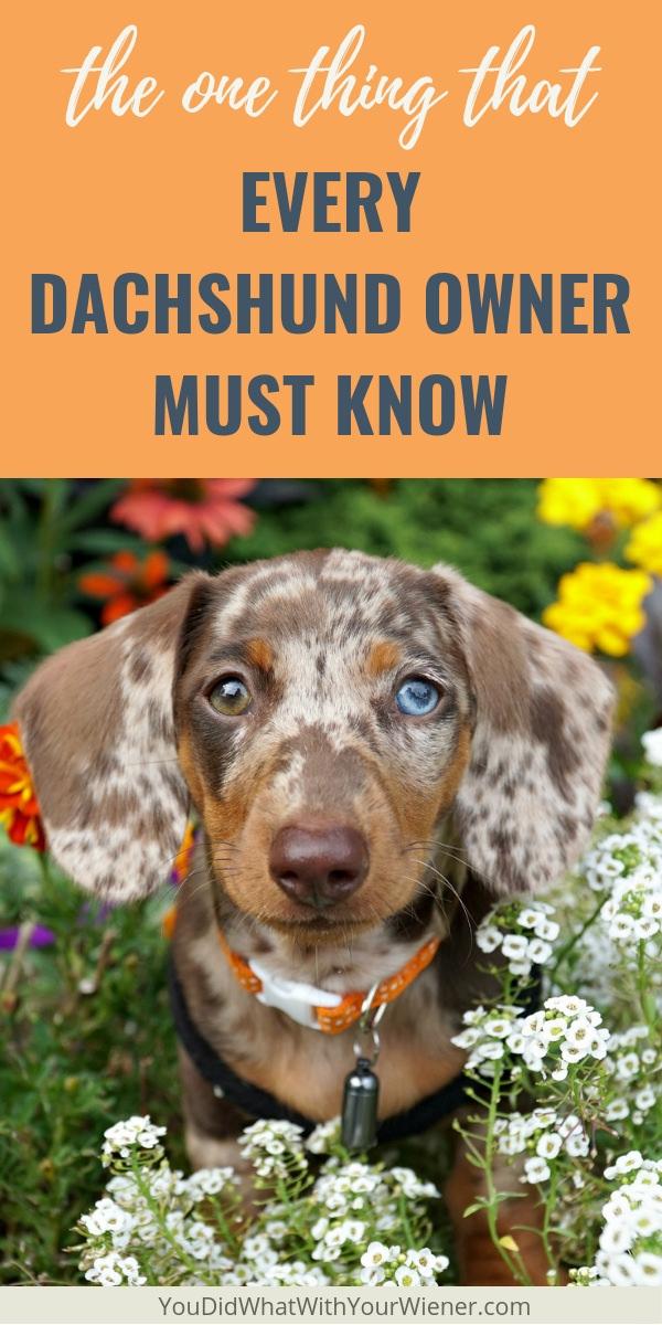 Probleme articulare la dachshunds. Tratamentul genunchiului schlatter