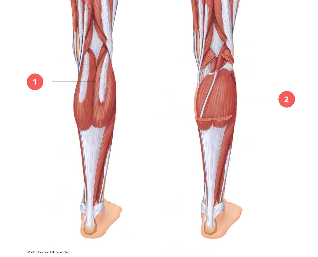 Durerea de gambă Ce sunt si cum se manifesta crampele musculare?