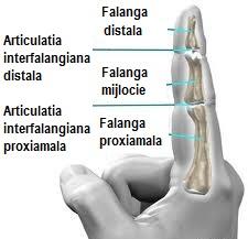 articulațiile degetului arătător