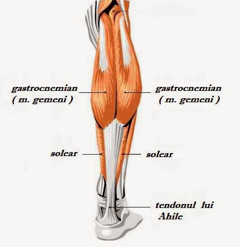 Gamba | Anatomie si fiziologie