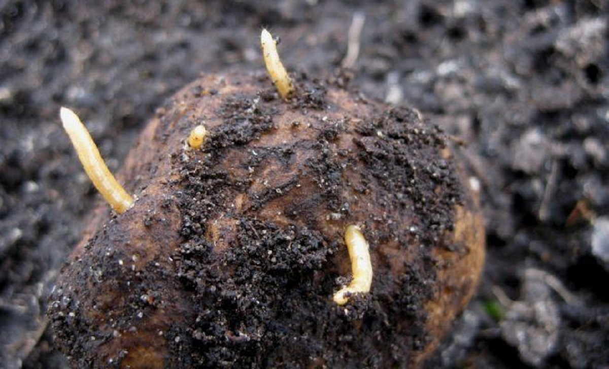 viermi de pământ în tratamentul articulațiilor