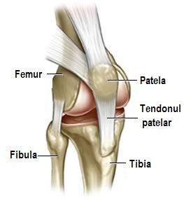 structura articulațiilor genunchiului