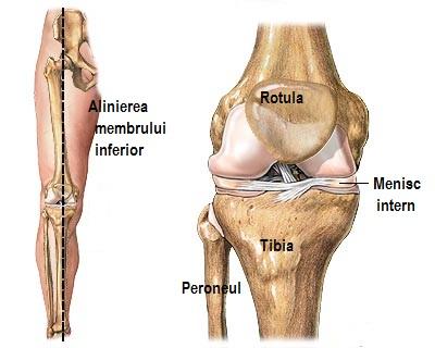 vasele articulației genunchiului)