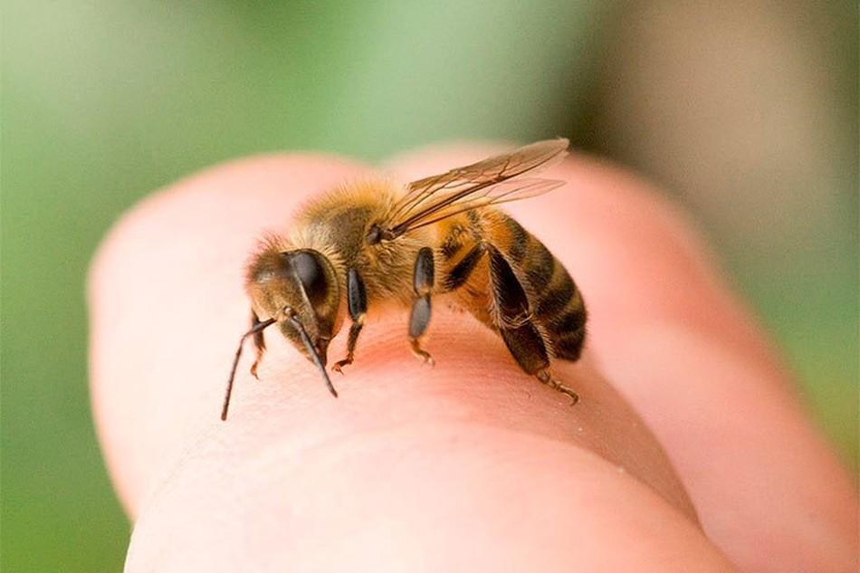 Venin de albine în tratamentul artrozei, Tratamentul articulației înțepăturilor de albine