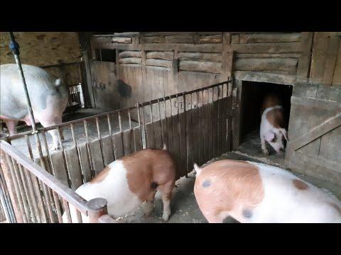 artroza în tratamentul porcilor