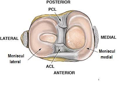 articulația meniscului genunchiului)
