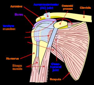 articulațiile încheieturii și umărului