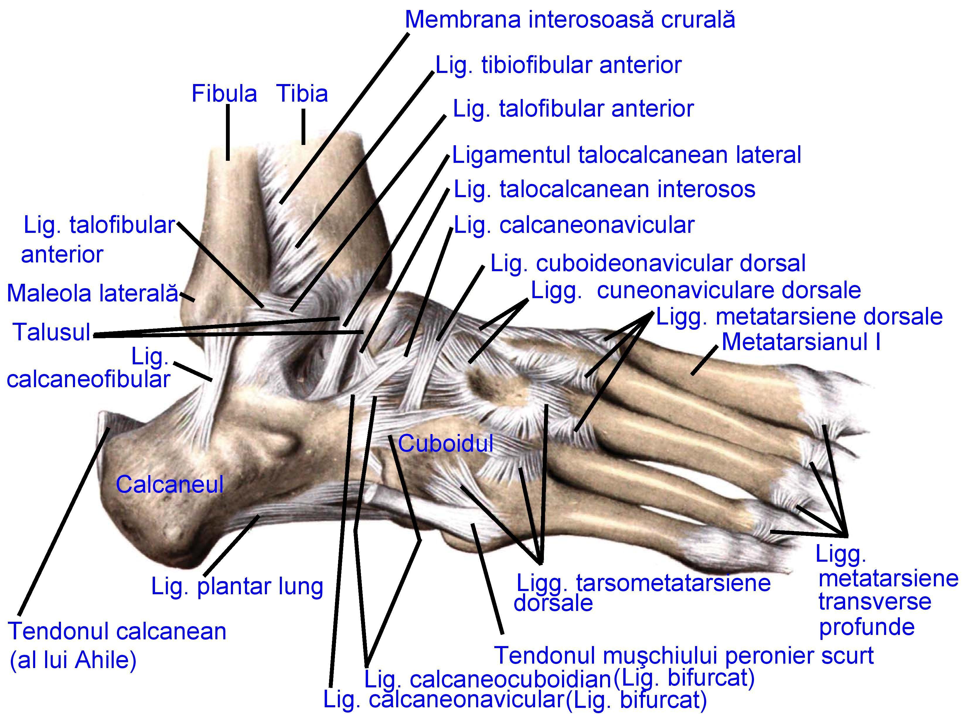 articulațiilor și articulațiilor picioarelor