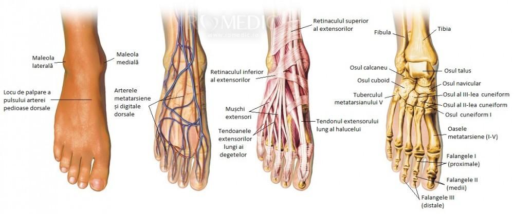 articulațiile și mușchii gambei