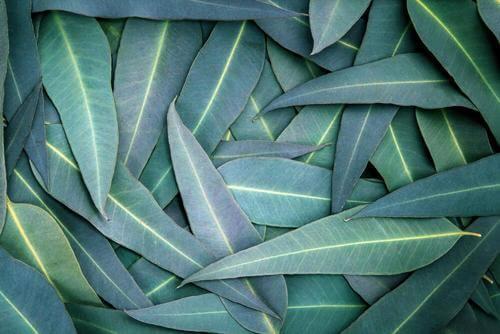 tratament comun cu eucalipt