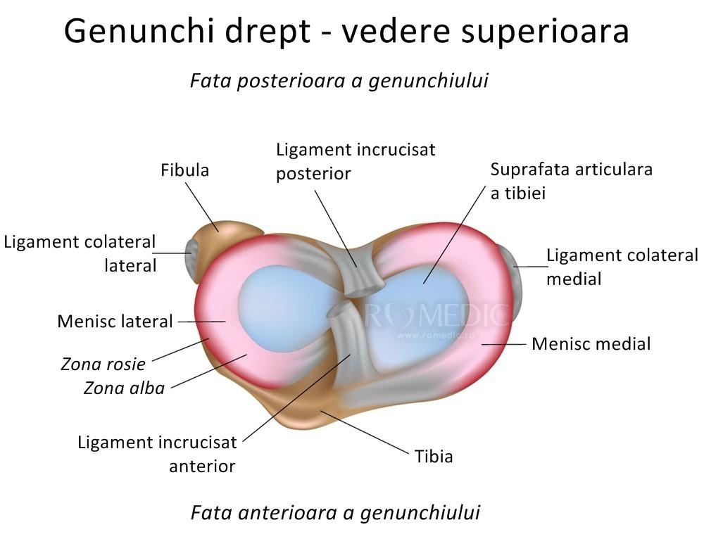 articulația încrucișată a genunchiului
