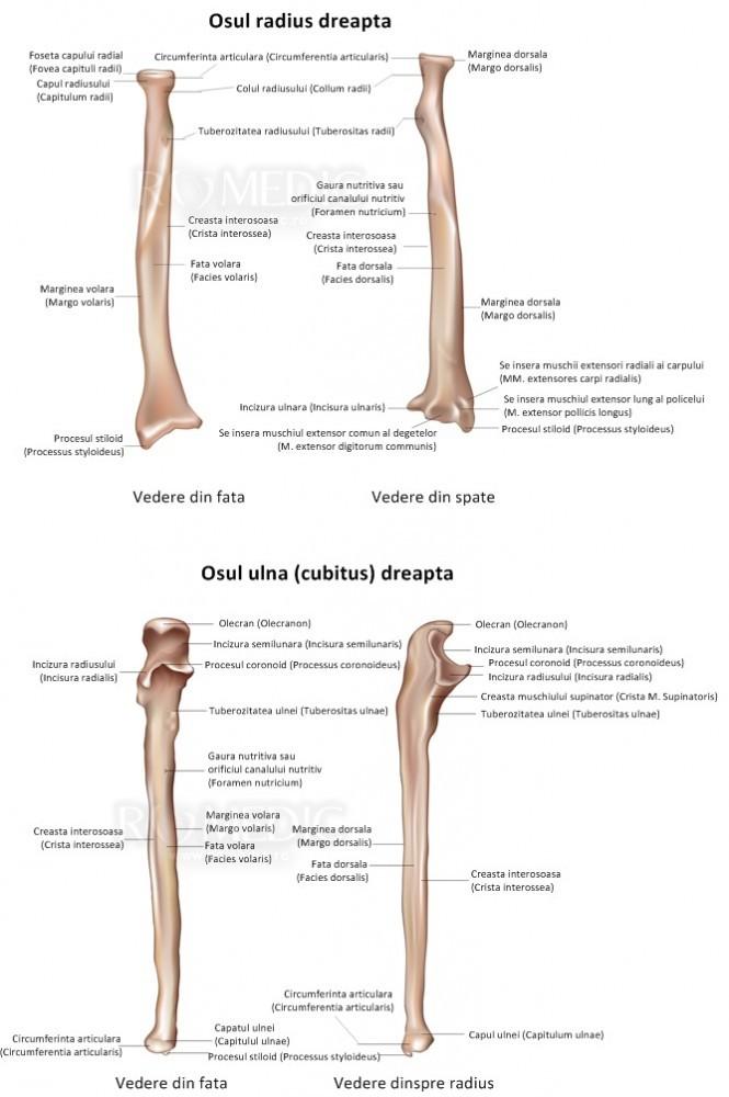 Dureri articulare la fosa ulnară - Articulatia cotului (cotul) | Anatomie si fiziologie