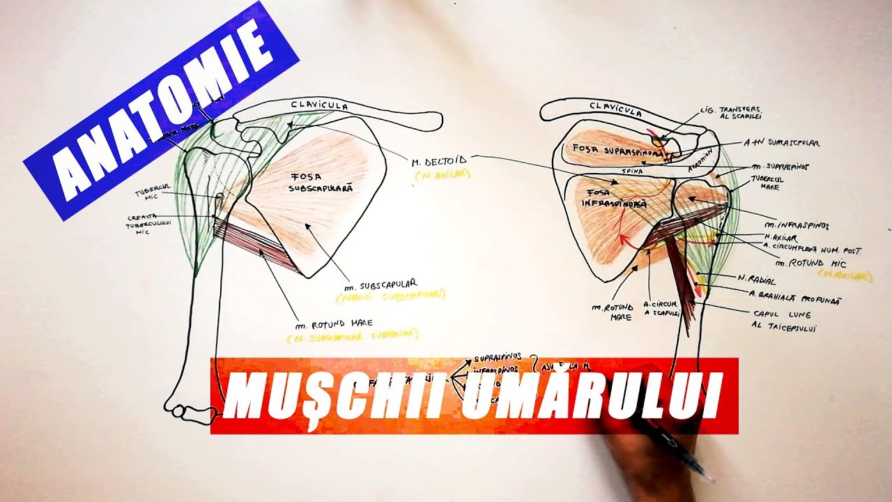 mușchii articulației umărului doare