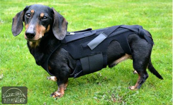 probleme articulare la dachshunds)