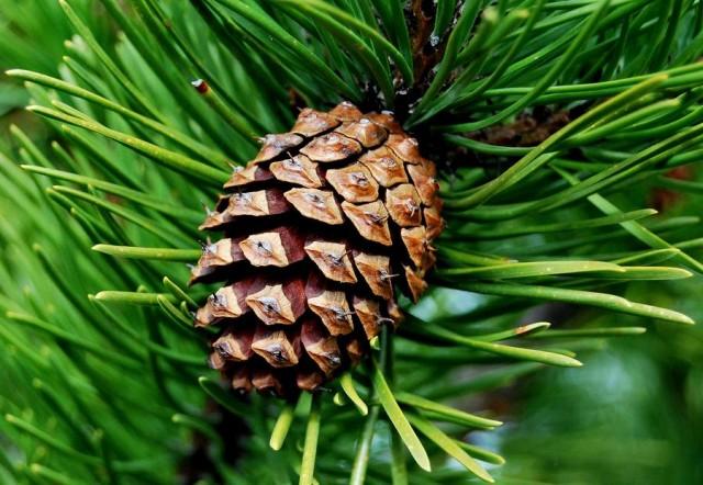 Rețete pentru prepararea și utilizarea conurilor de pin în medicina tradițională