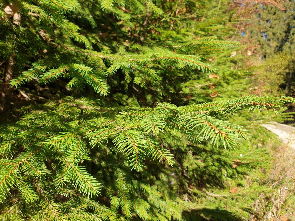 Conifere: sfaturi de ingrijire si cultivare arbori si arbusti coniferi