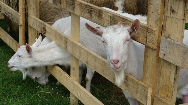 tratamentul articulației laptelui de capră)