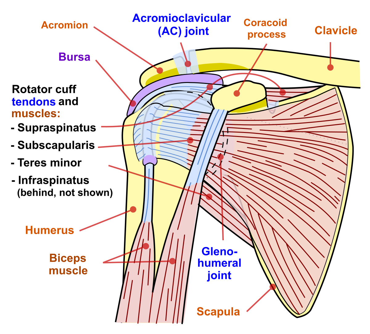 articulația umărului este foarte dureroasă)