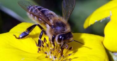 albine tratamentul artrozei cu albine)