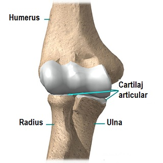 Când încleștați un pumn, durere în articulația cotului Când rănesc articulațiile genunchiului