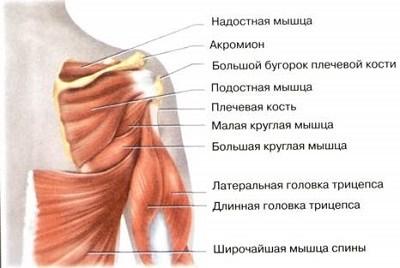 manșeta articulației umărului)